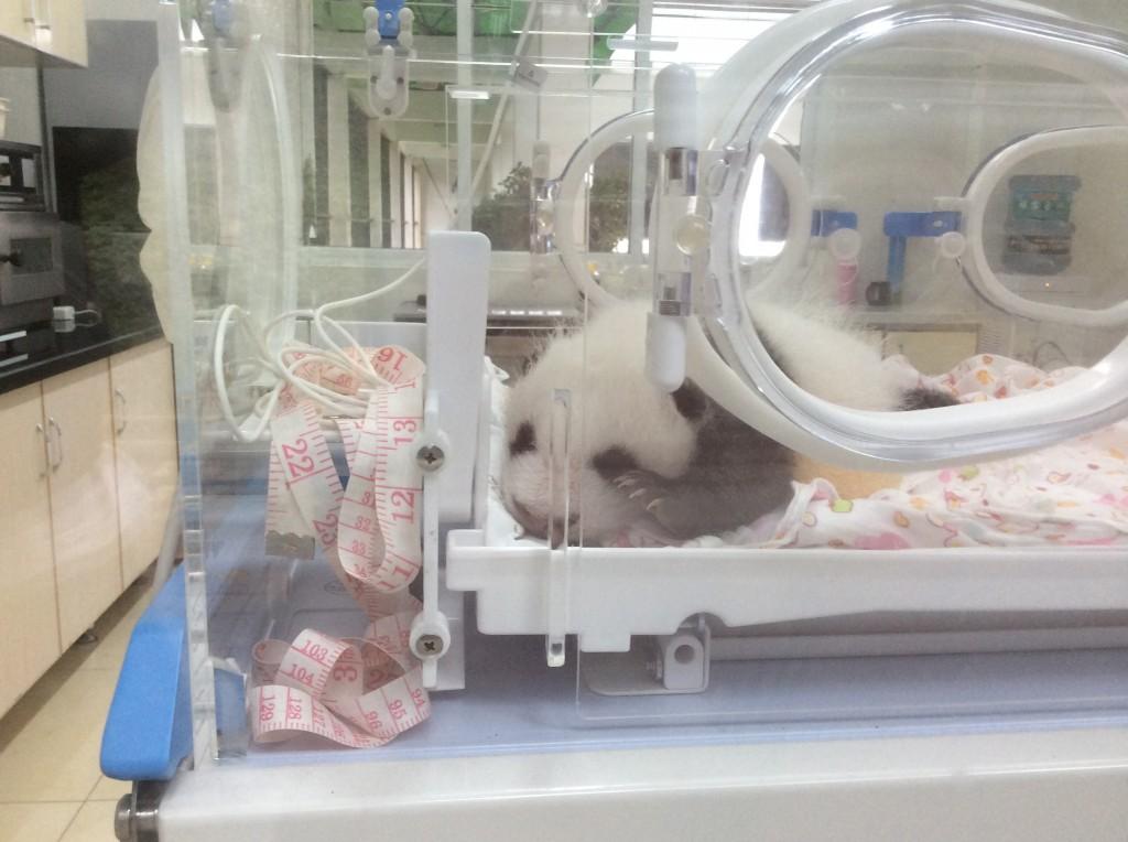 Bébé panda Bifengxia