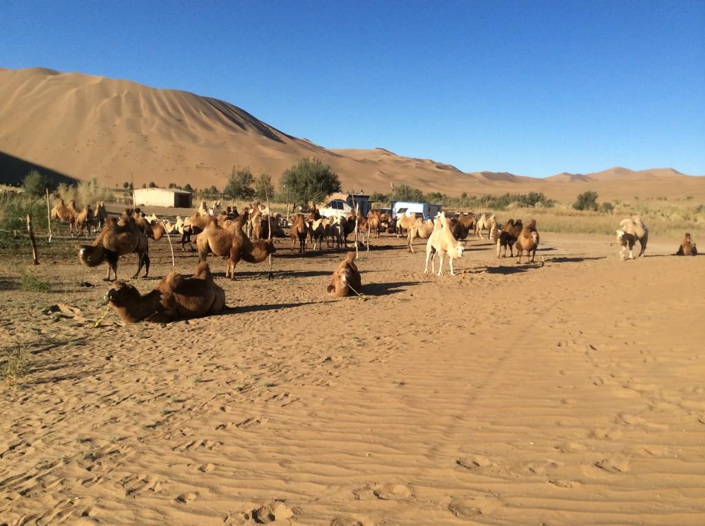 Oasis chameaux désert Chine