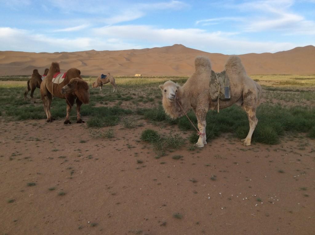 Chameaux oasis désert Mongolie Intérieure