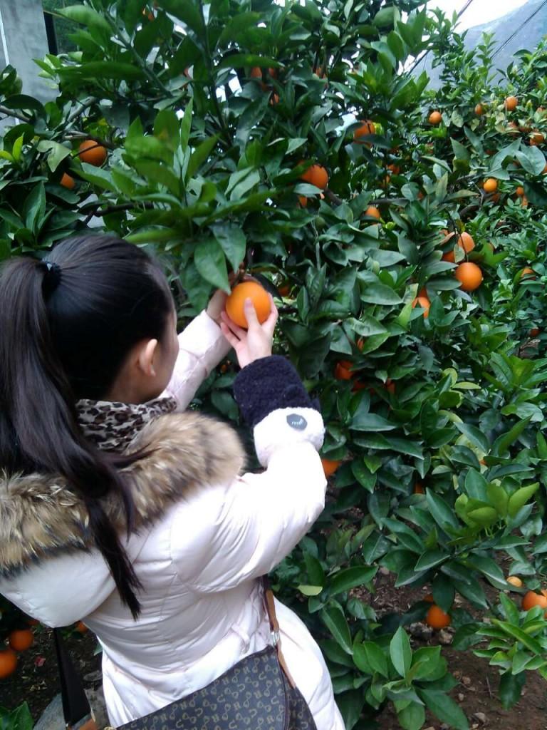 Cueillette d'oranges en Chine