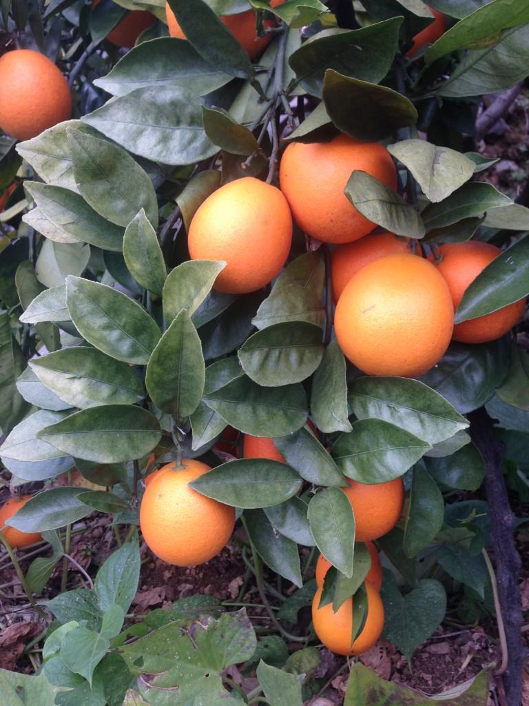 Oranges Leibo