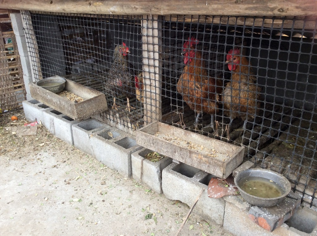 Poules toit campagne chinoise
